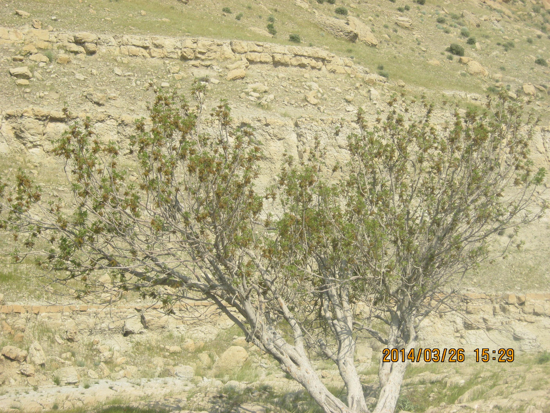 درخت زیبای بن از درختان روستا