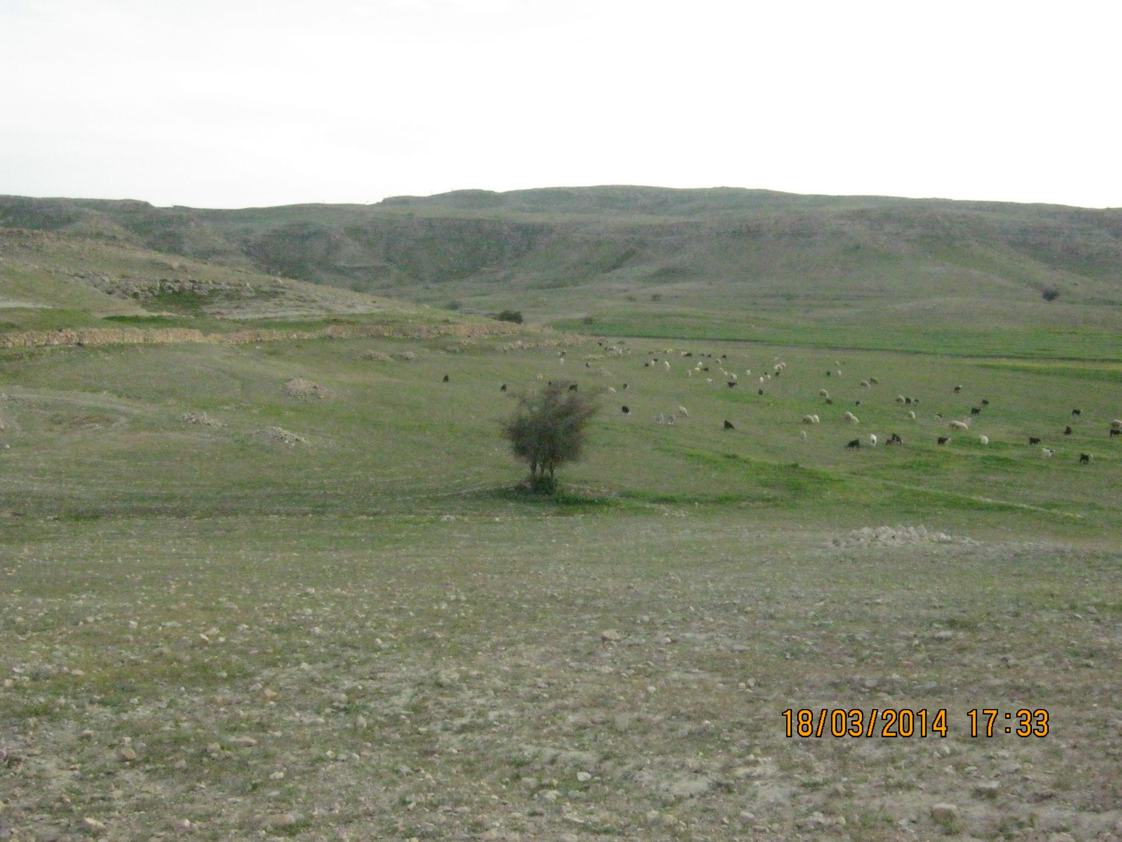 چرای گوسفندان در دشتهای روستا